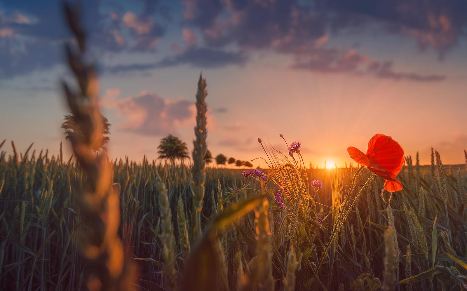 Sonnenuntergang Kornfeld